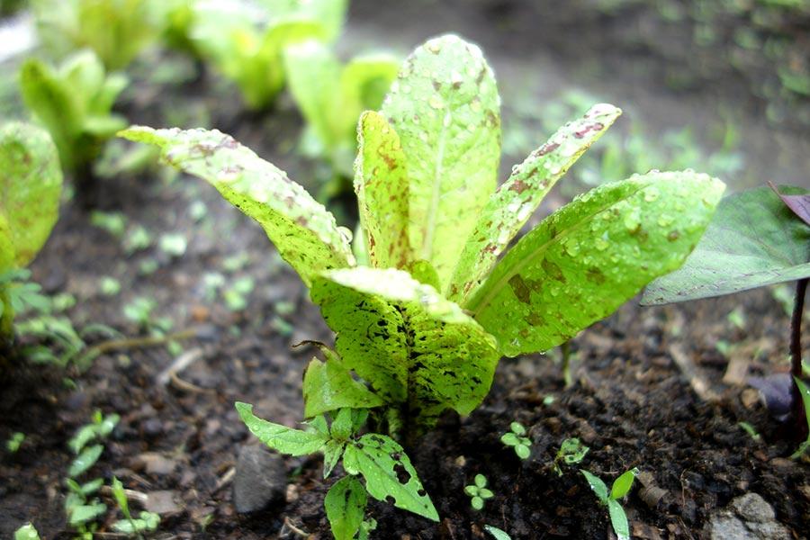 lettuce_atitlan_organics_guatemala-road_affair