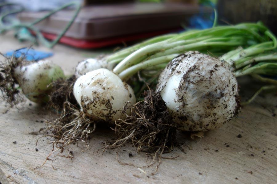 onions_atitlan_organics_guatemala-road_affair