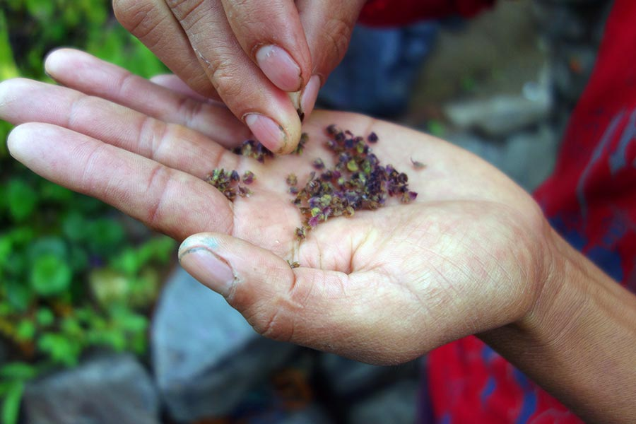 purple_basil_2_atitlan_organics_guatemala-road_affair