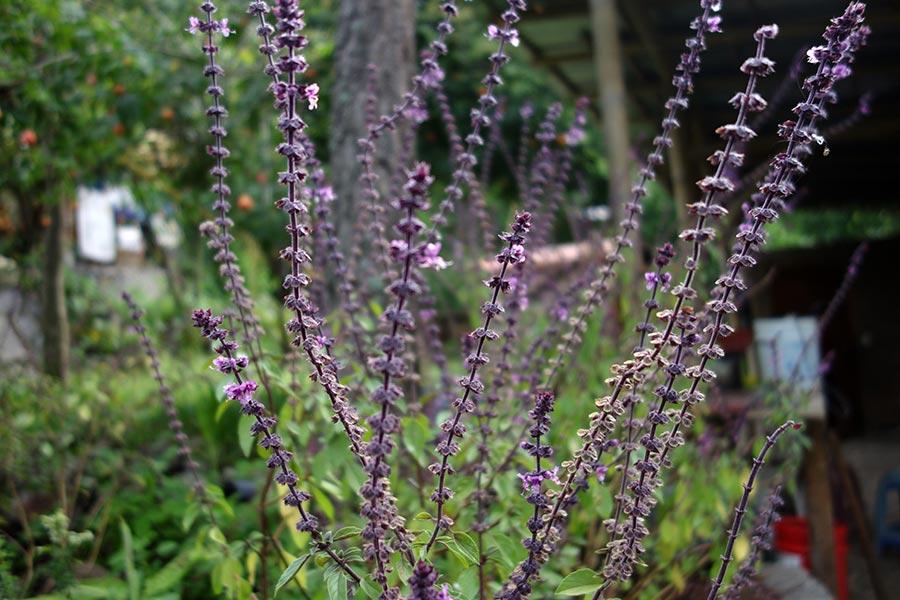 purple_basil_atitlan_organics_guatemala-road_affair