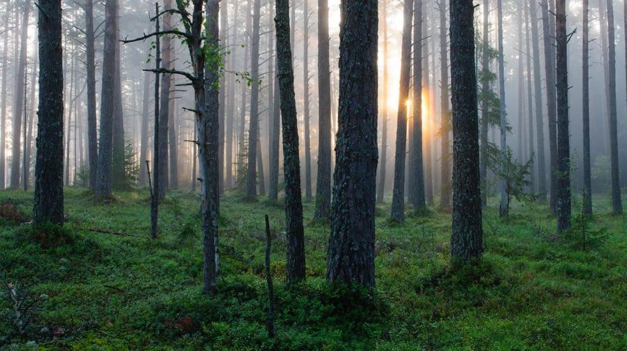 Forest in Estonia