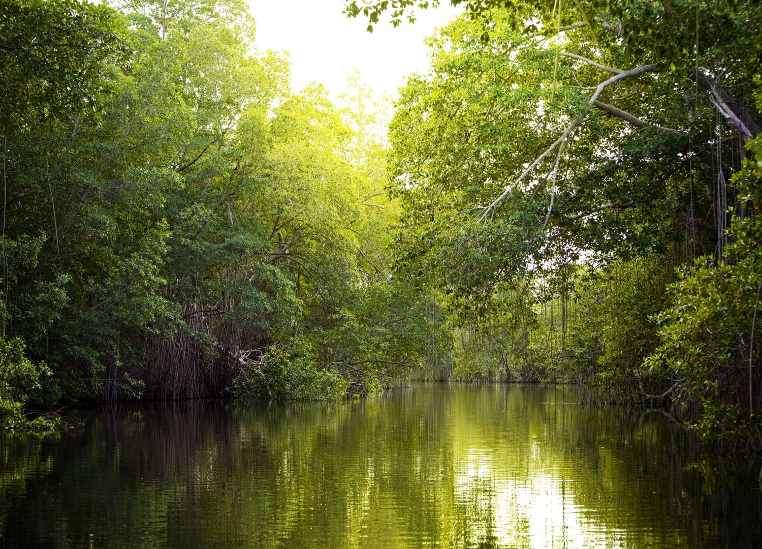 Tropical mangrove forest on the Black River, Jamaica
