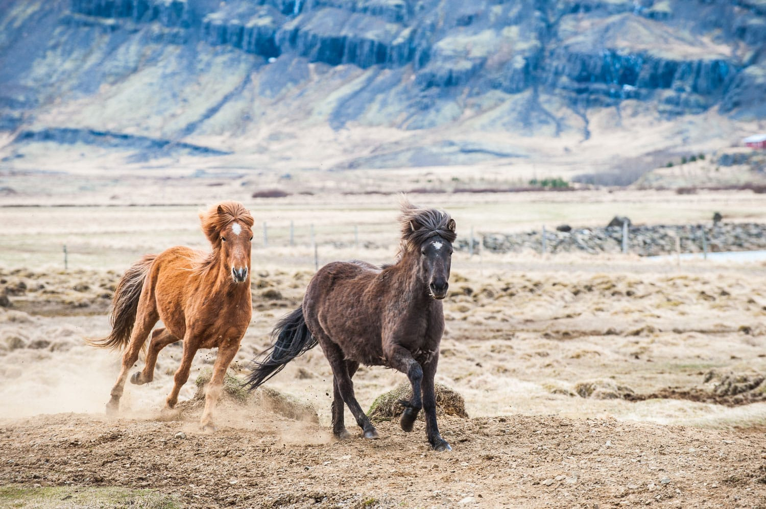 Galloping horse in Iceland
