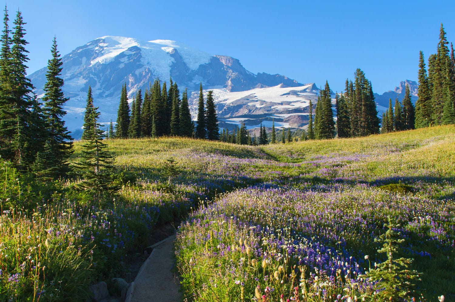 A scenic view of Mount Rainier with wild flowers and lupines growing in the late summer months