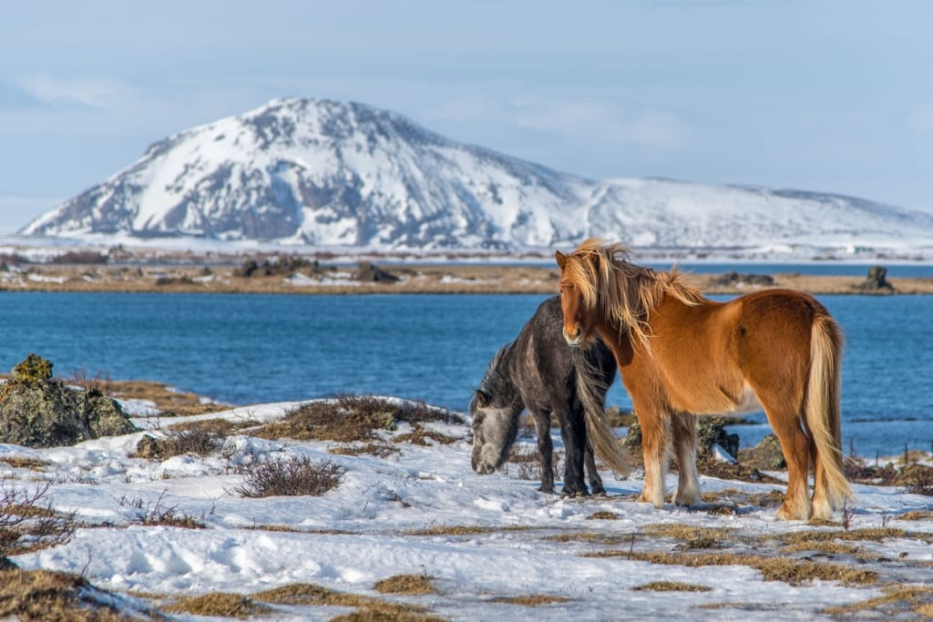 Icelandic horses on the side of Myvatn lake, Iceland