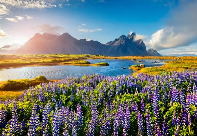 Blooming lupine flowers on the Stokksnes headland on the southeastern Icelandic coast, Iceland.