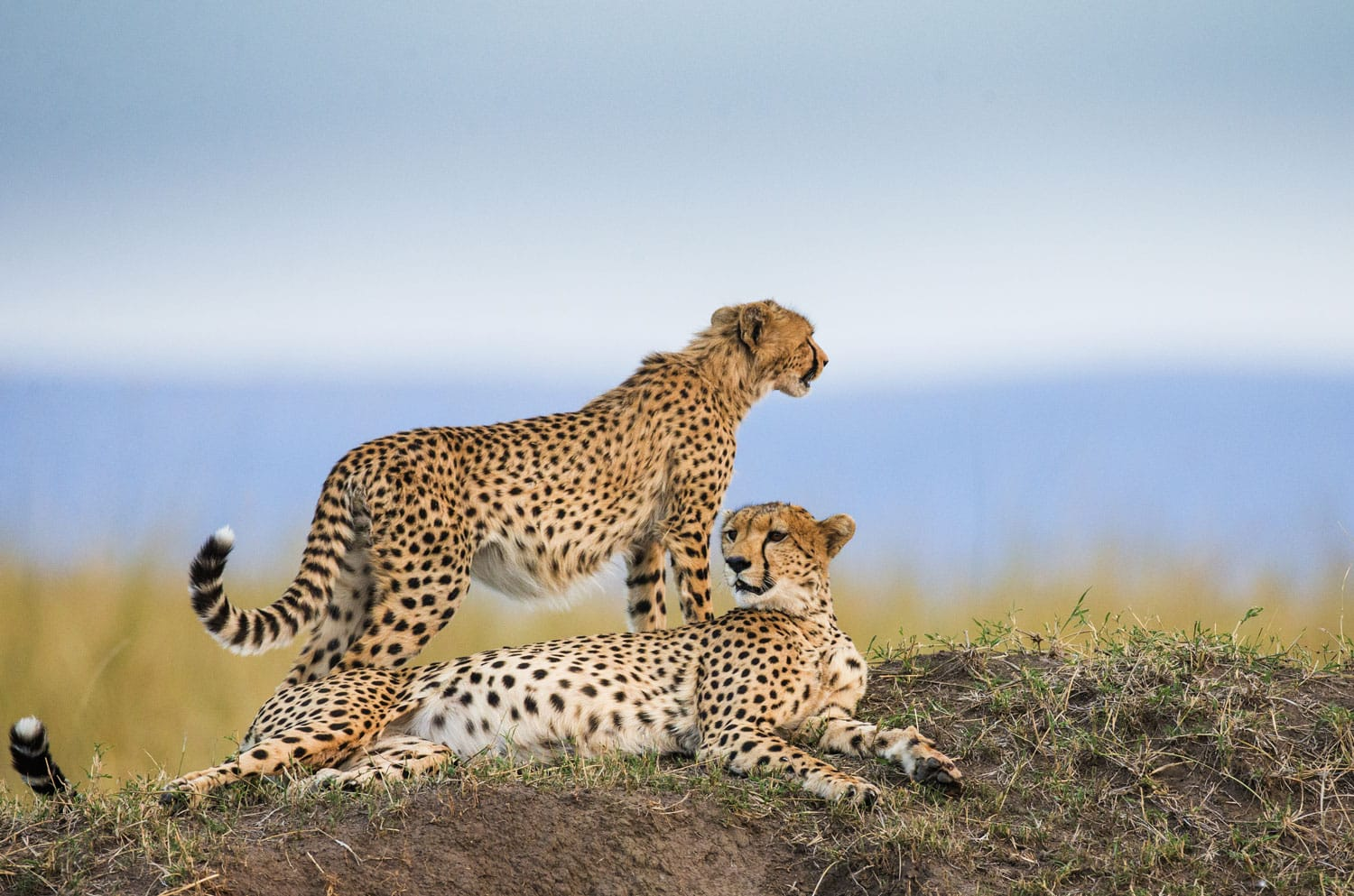 Three cheetahs in the Maasai Mara National Park, Africa