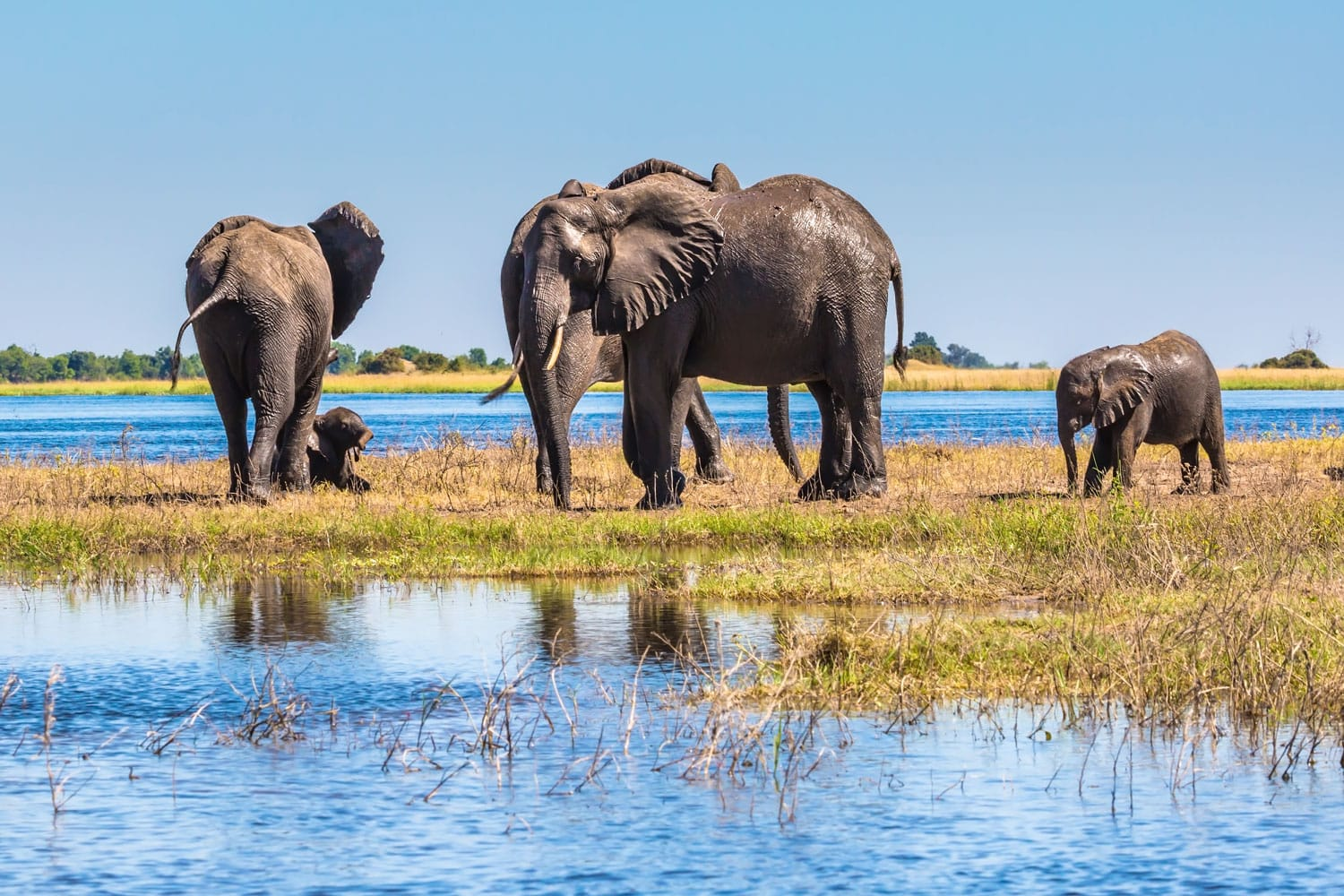 Herd of elephants adults and cubs crossing shallow water in The oldest national park in Botswana - Chobe National Park, Africa