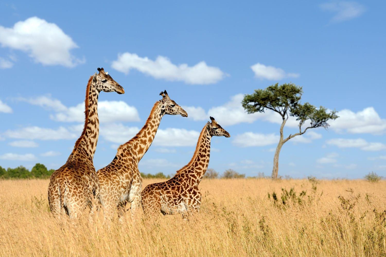 Group of giraffes in National park of Kenya, Africa