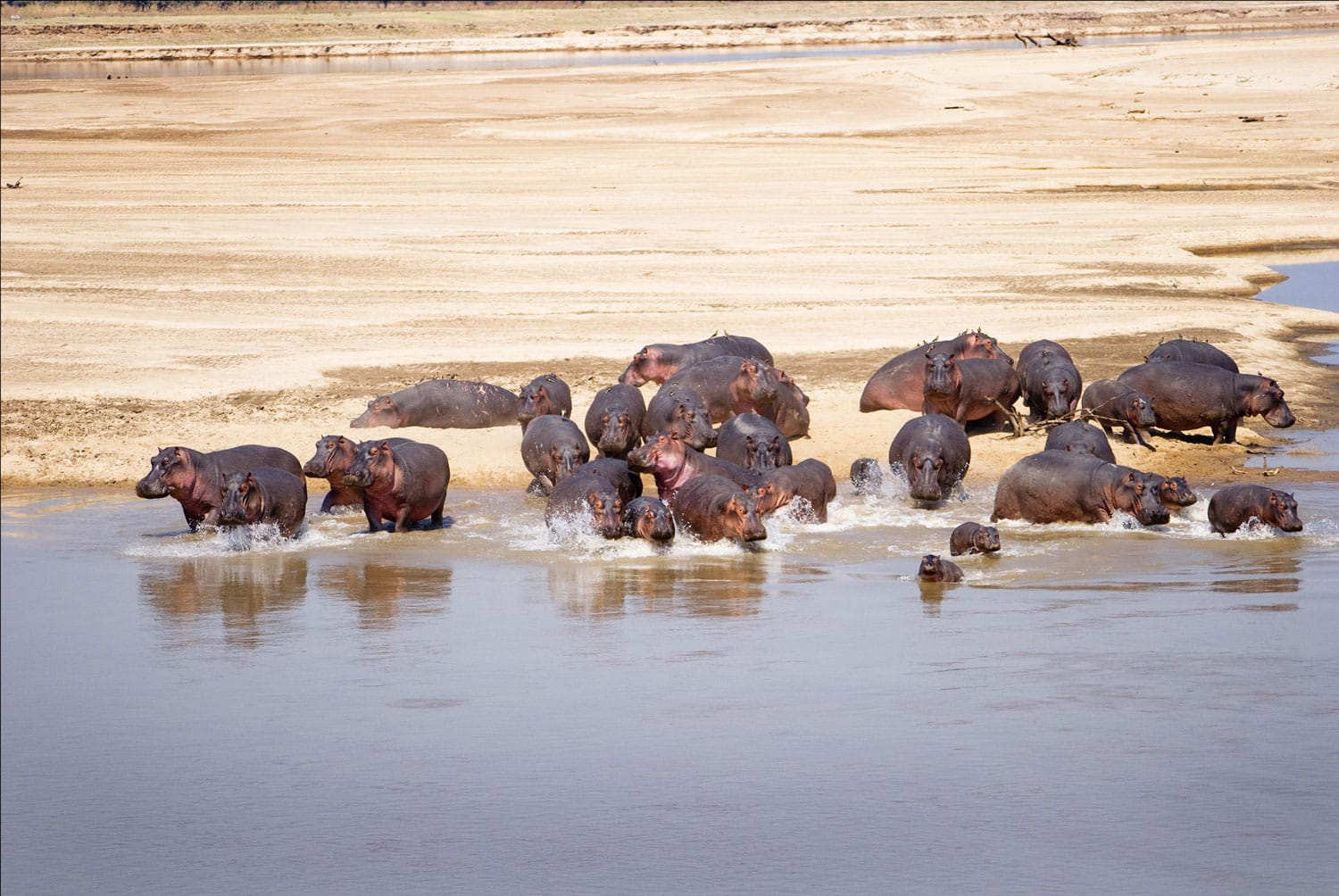 Hippo Family running into the water of the Luangwa River, South Luangwa National Park, Zambia, Africa