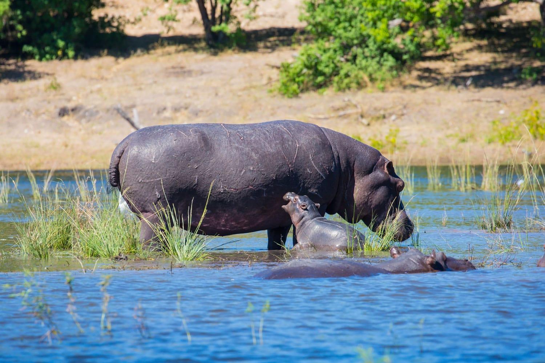 Family of hippos in the river in Okavango Delta, Chobe National Park, Botswana