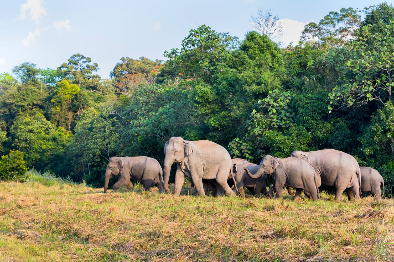Group of Wild Elephant walking on the field in nature at Khaoyai national park,Thailand