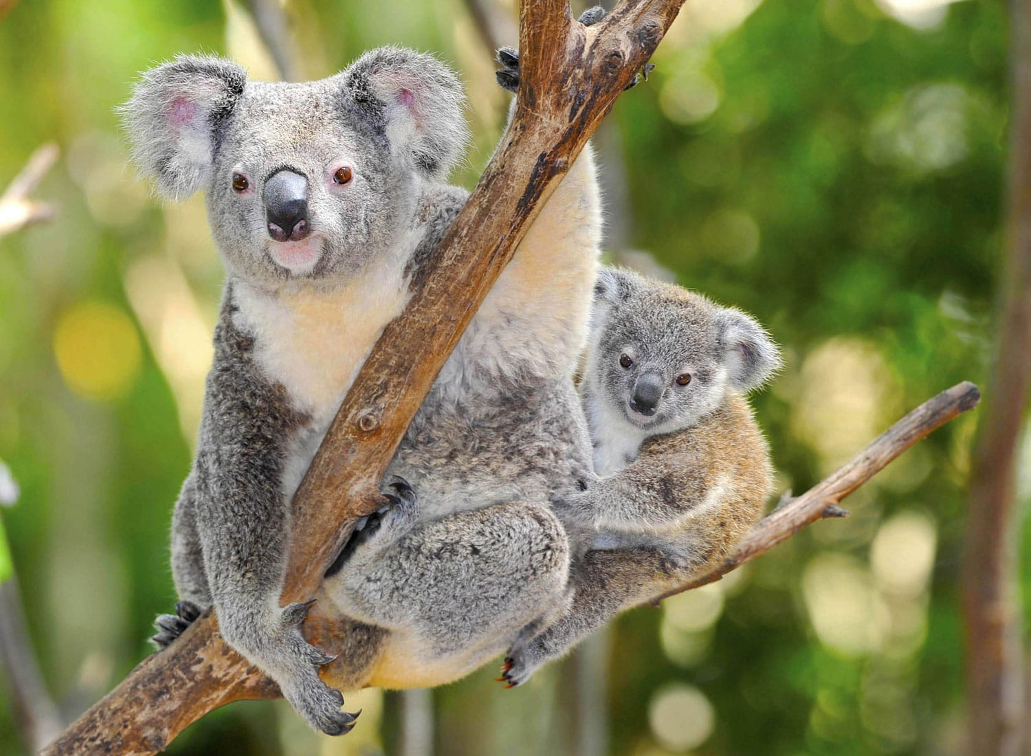 Australian Koala Bear with her baby in eucalyptus tree ,coffs harbor, Sydney, NSW, Australia