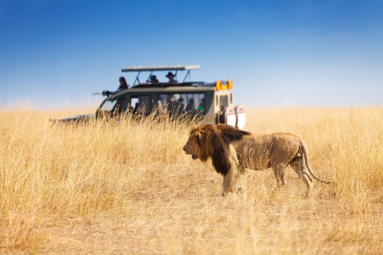 Portrait of beautiful big lion at safari park