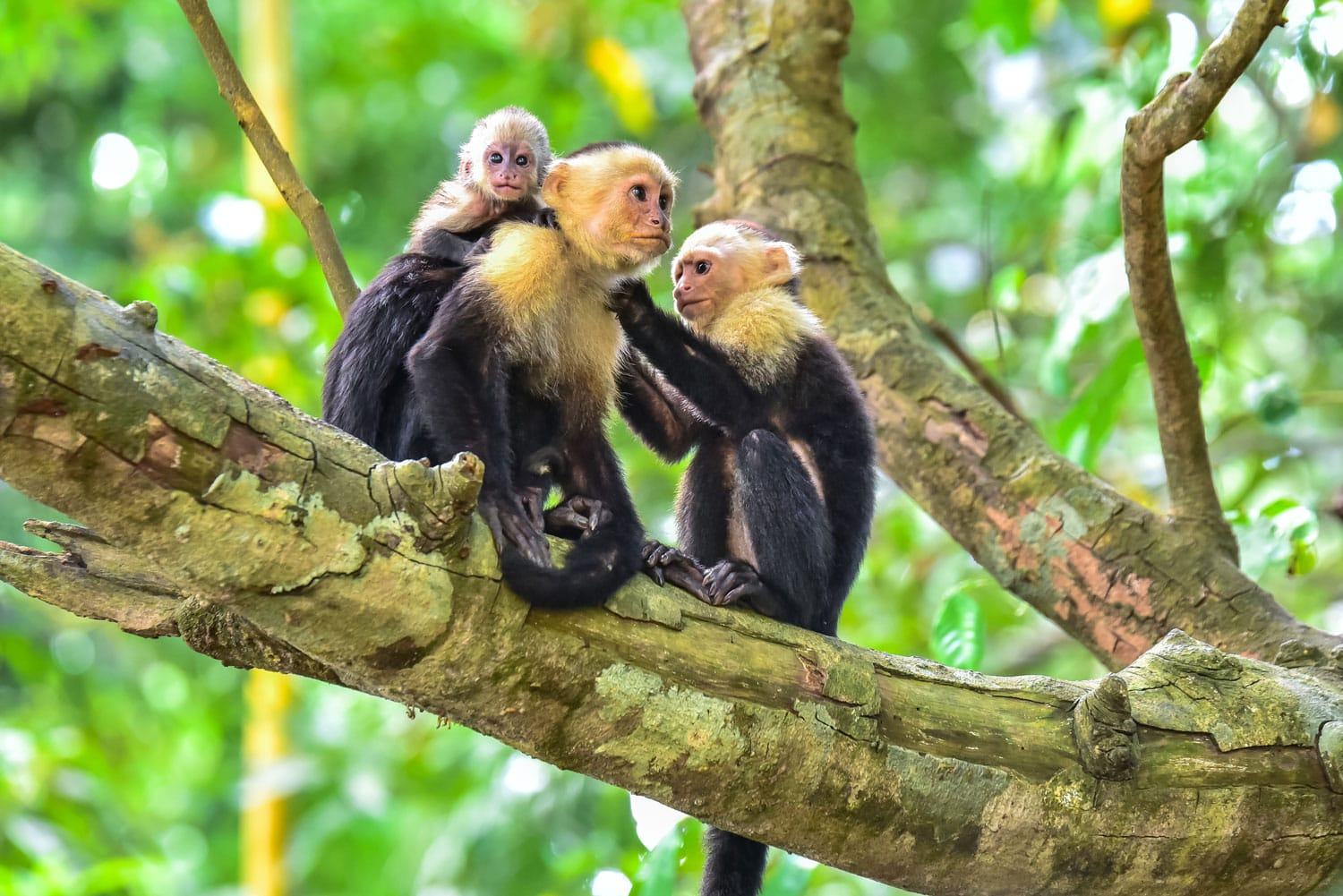 Capuchin Monkey on branch of tree in Costa Rica