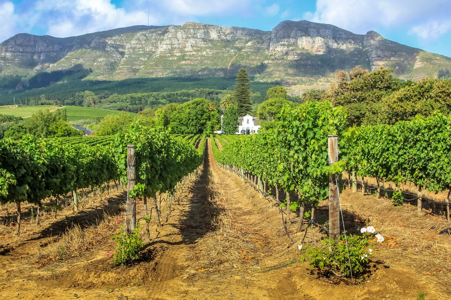 Rows of grapes in picturesque Stellenbosch wine region in South Africa with Thelema Mountain as a backdrop
