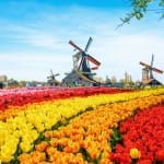 Beautiful landscape with tulips, traditional dutch windmills and houses near the canal in Zaanse Schans, Netherlands