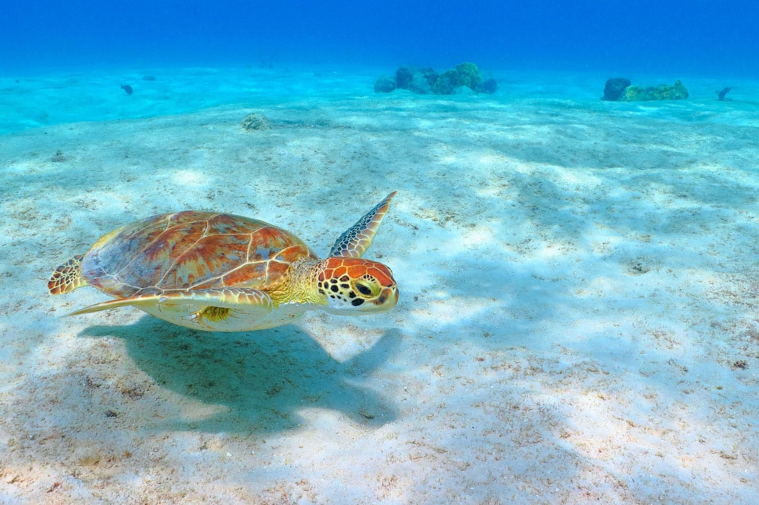 The green sea turtle (Chelonia mydas) swimming over the sandy white seabed in Akumal, Mexico