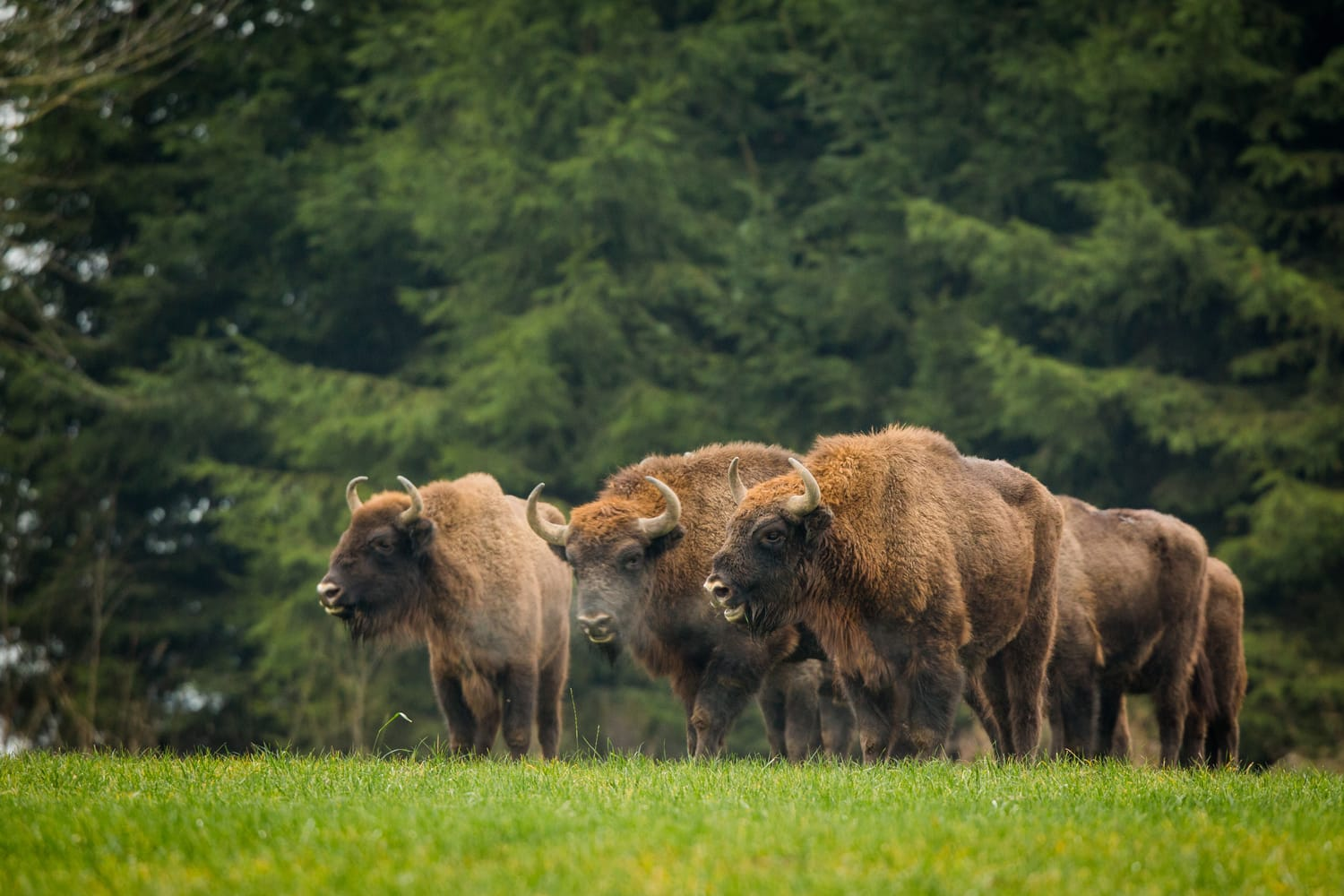 Bisons at Bialowieza National Park in Poland