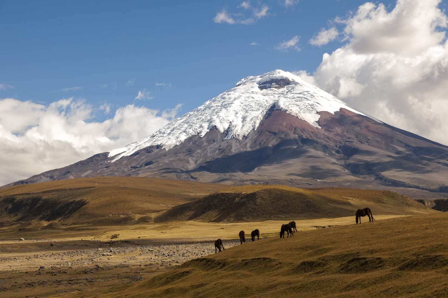 Cotopaxi volcano and wild horses in Ecuador