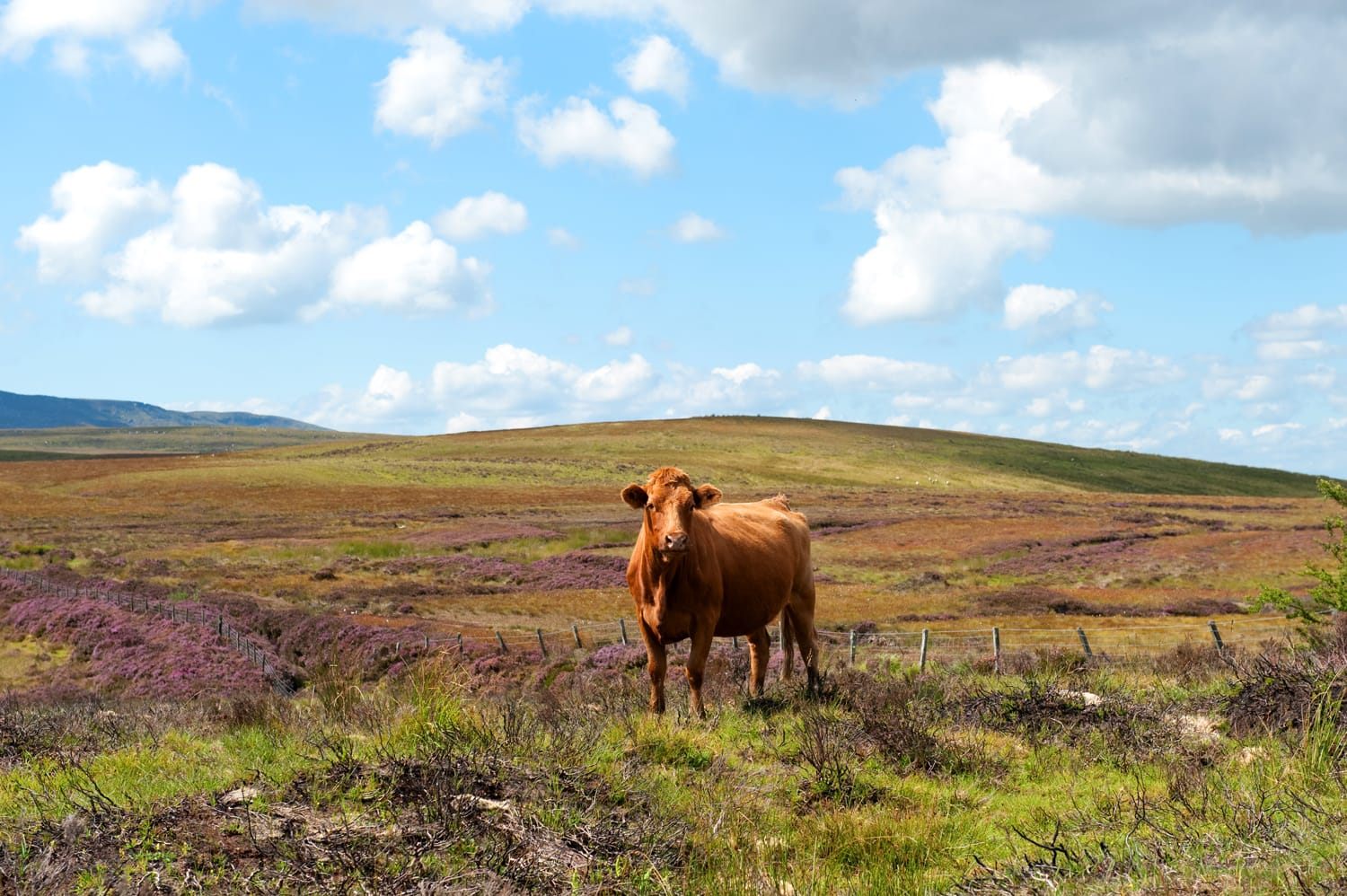 Beautiful Red cow in the Cuilcagh mountains , Ireland in summer time
