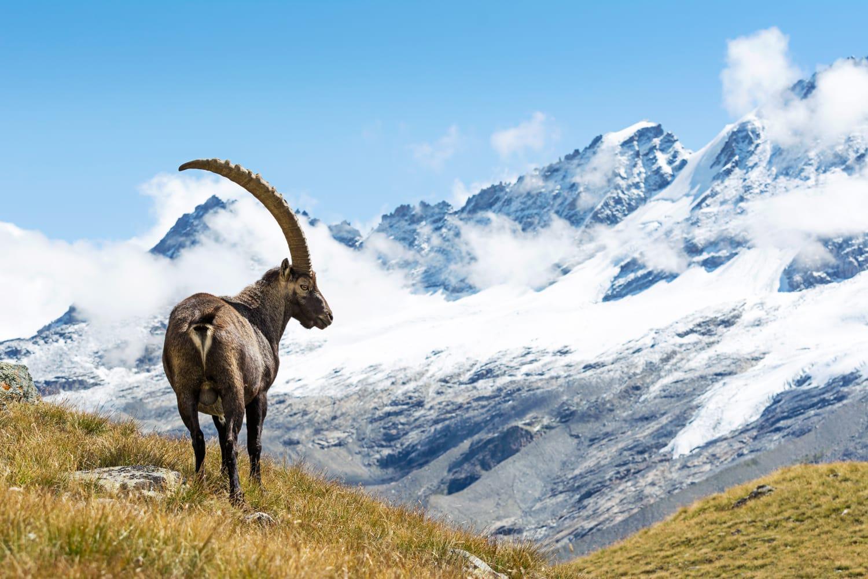 Alpine Ibex (Capra ibex), Gran Paradiso National Park, Italy