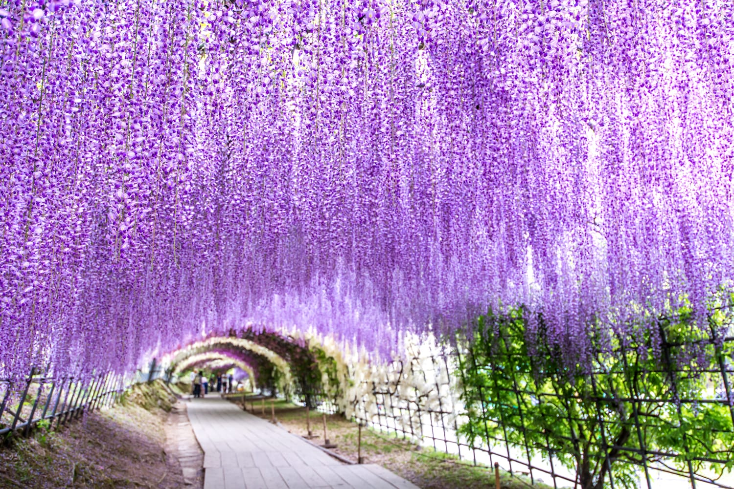 Wisteria Tunnel at Kawachi Fuji Garden, Japan