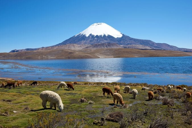 Alpaca's grazing on the shore of Lake Chungara at the base of Parinacota Volcano, 6,324m high, in the Altiplano of northern Chile.