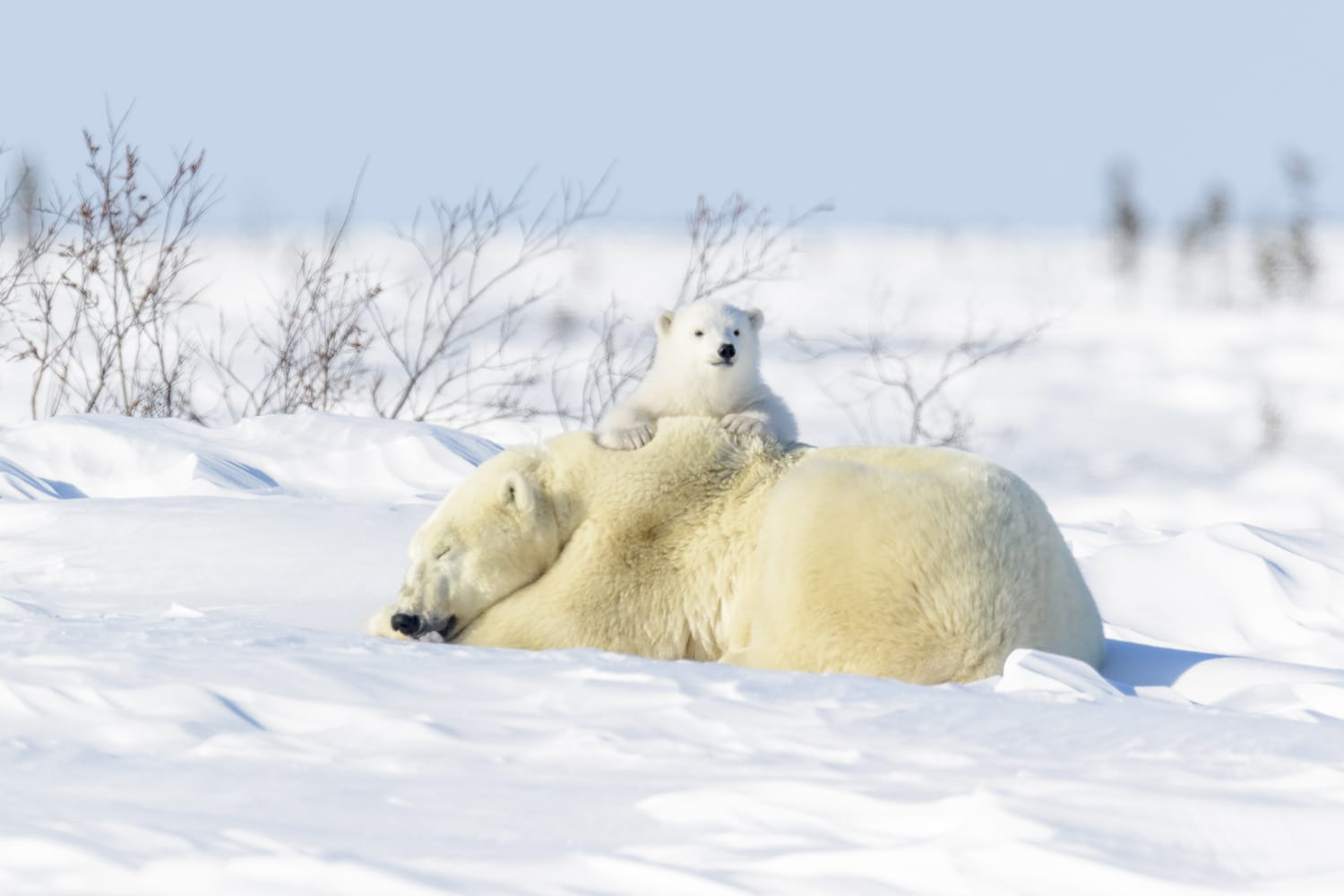 Polar Bears at Wapusk National Park, Manitoba, Canada