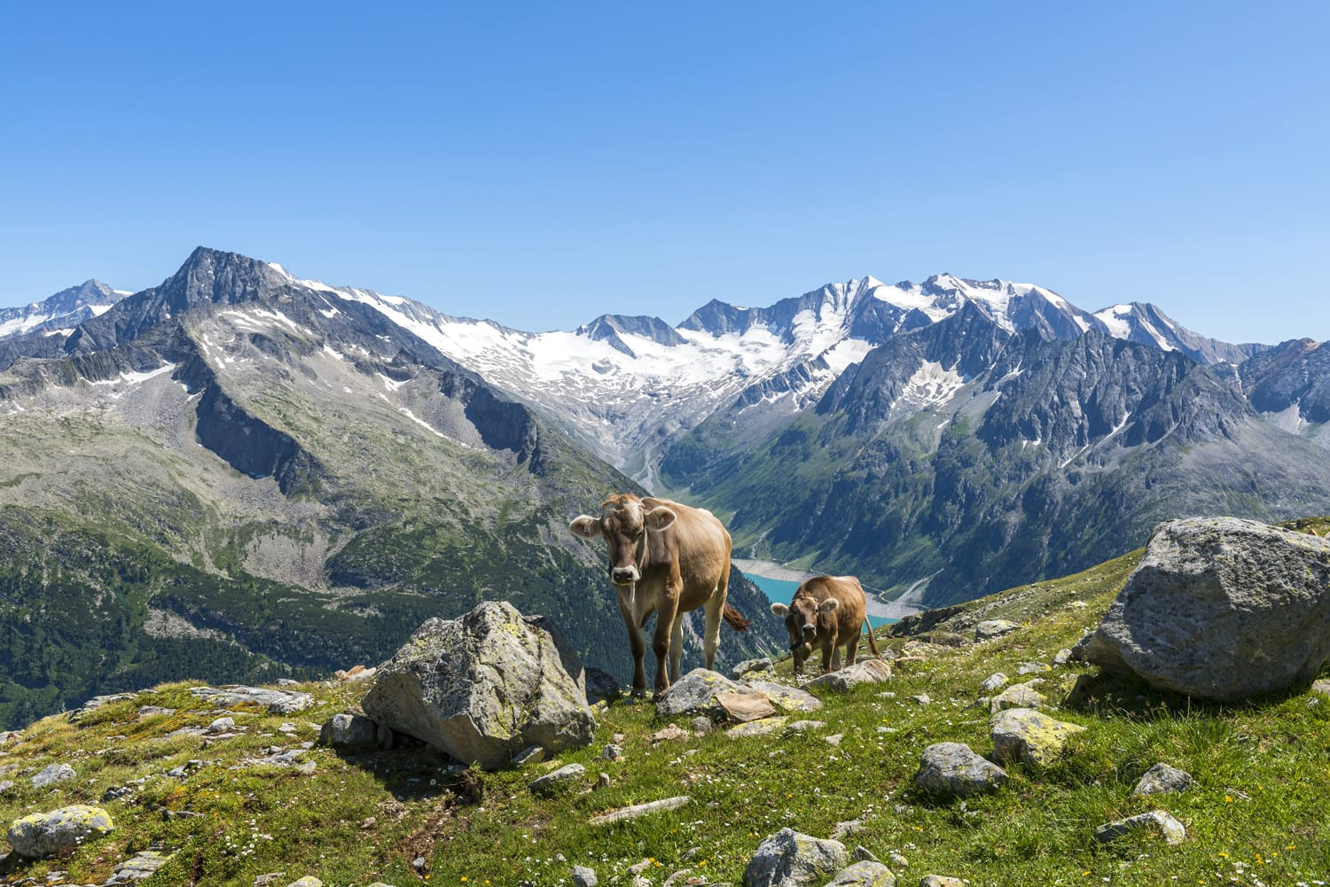 Cows in the Austrian mountains - Zillertal - in the summer time.