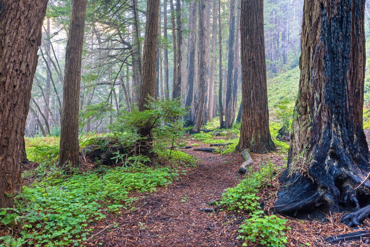 Redwood Grove and Fog, Big Sur, California