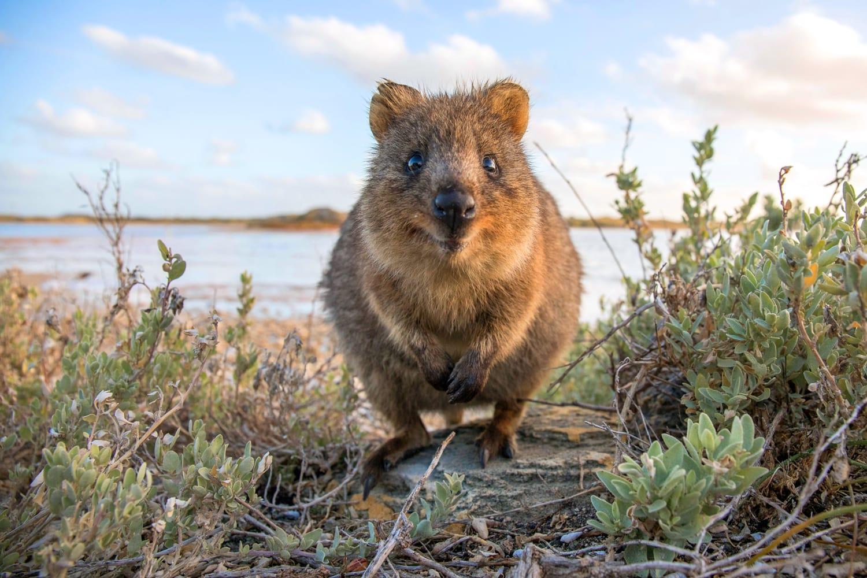 Quokka in Rottnest Island, Australia