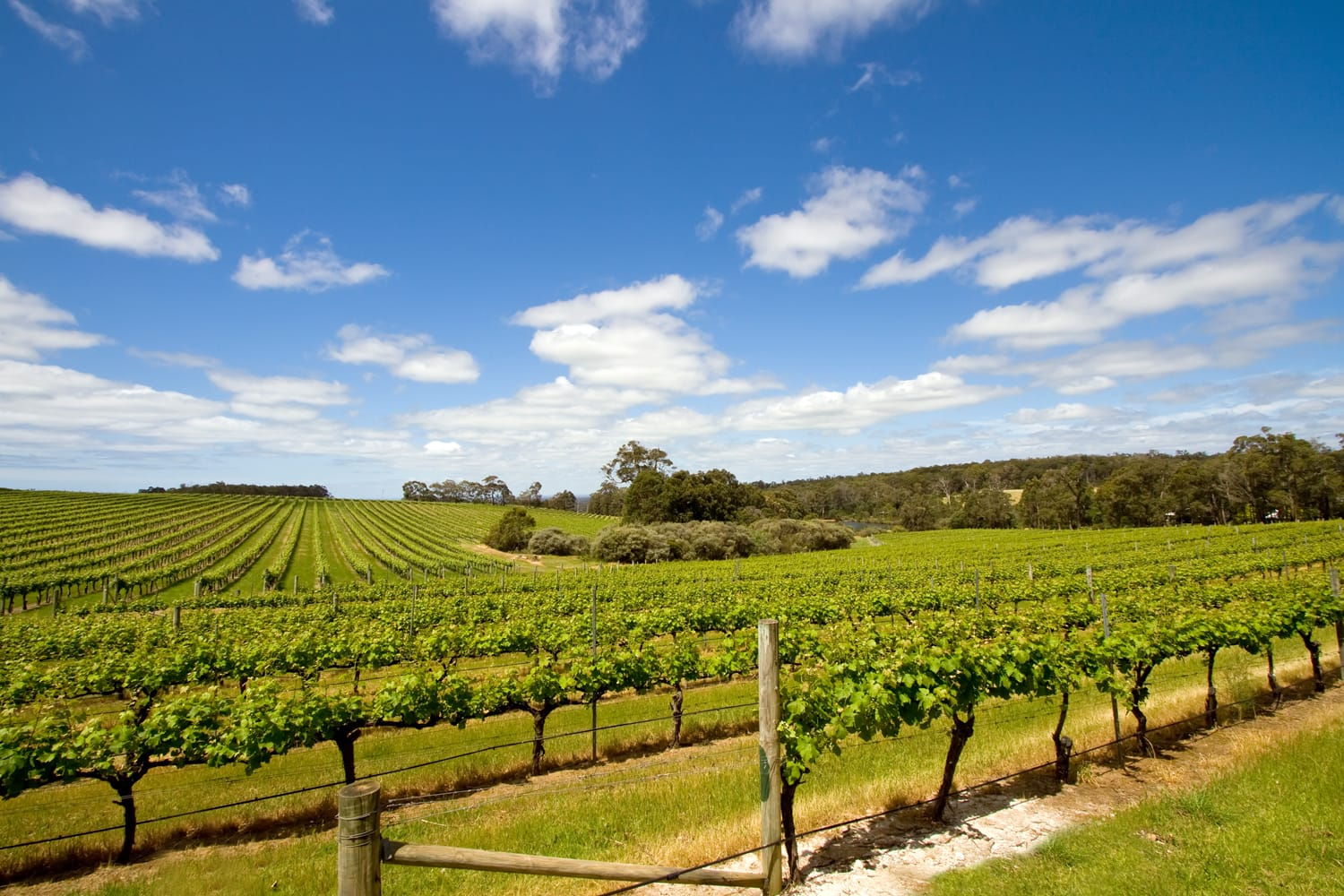 Vine yards in Margaret River, Australia