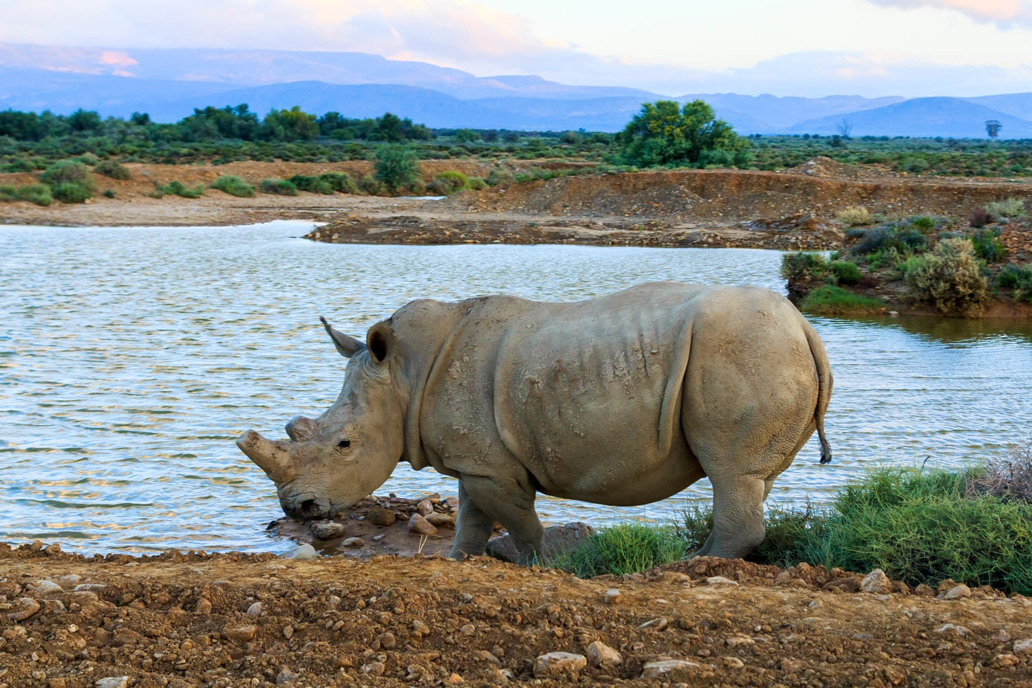 Rhino at Inverdoorn in South Africa