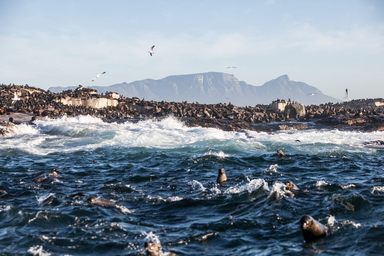 Cape Fur seals swim in the cold waters surrounding Seal Island in False Bay, South Africa