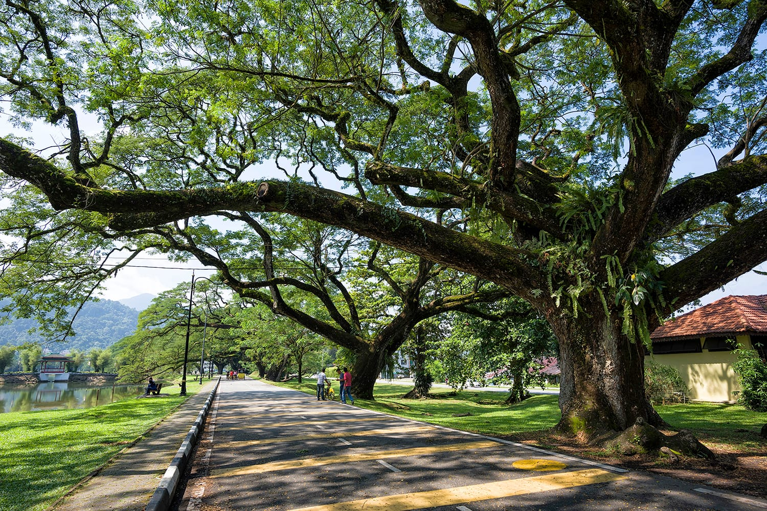 Old birch tree with long branches along Taiping Lake Garden, Taiping, Malaysia. It also known as Taman Tasik Taiping.