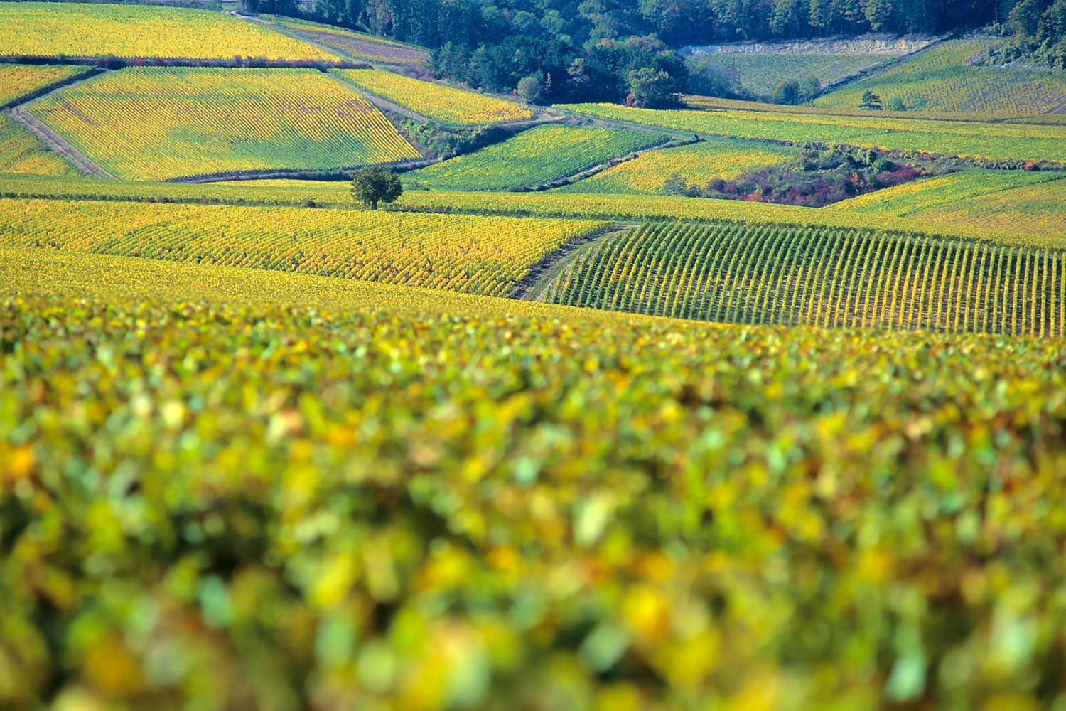 The vineyards of Chablis in autumn, Burgundy, France