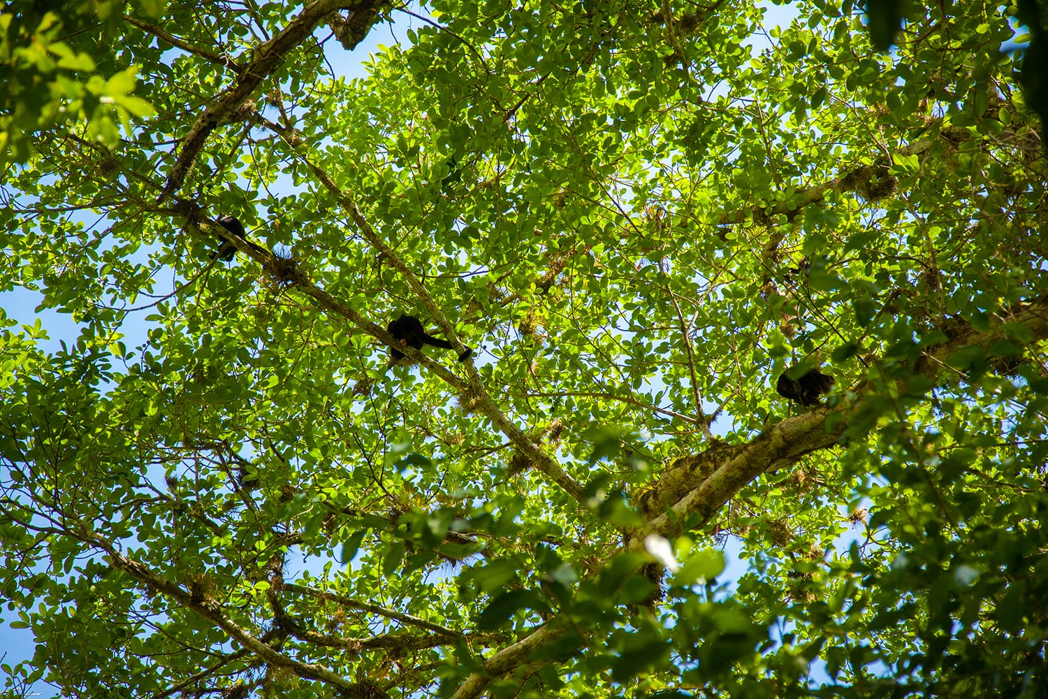 A family of spider monkey on the tropical forest in Tikal, Peten Guatemala