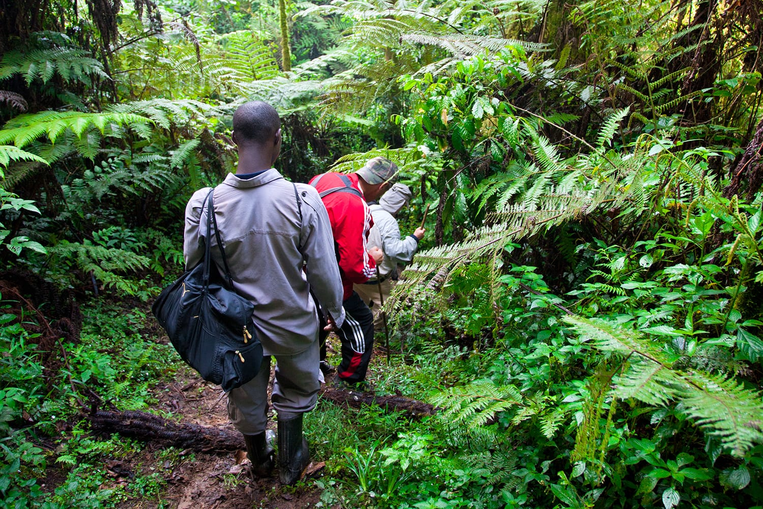 Unidentified tourists on gorilla trekking in the African rainforest in Bwindi Impenetrable Forest National Park, at the borders of Uganda, Congo and Rwanda