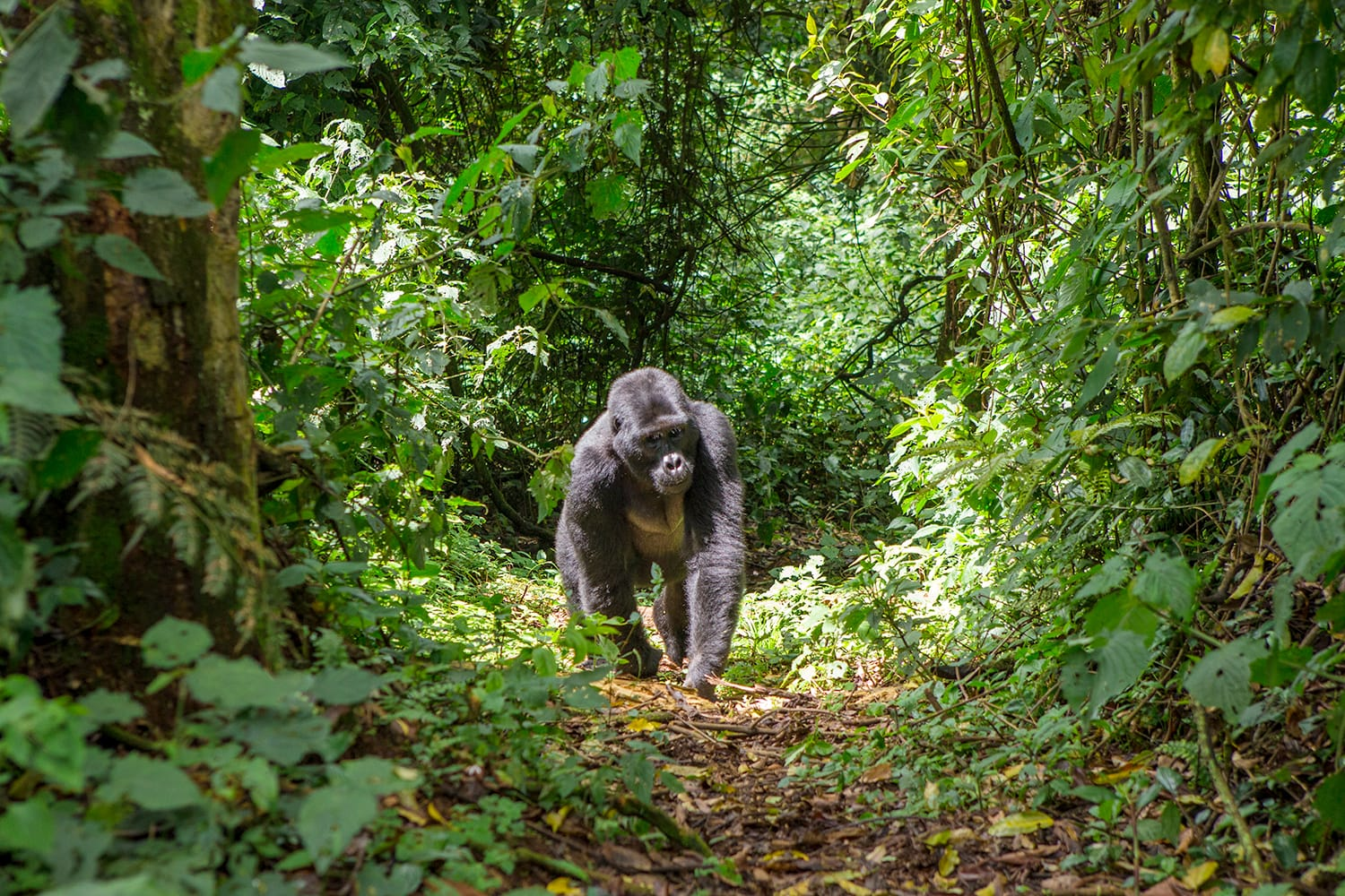 Mountain gorillas in the rainforest. Uganda. Bwindi Impenetrable Forest National Park