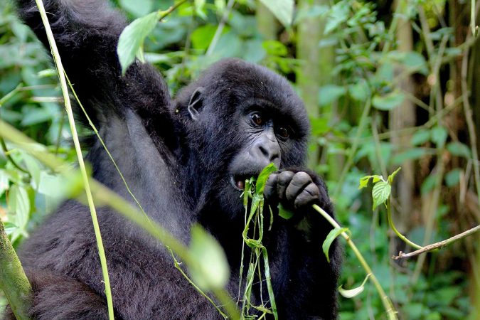 young Mountain Gorilla eats leafs in Rwanda