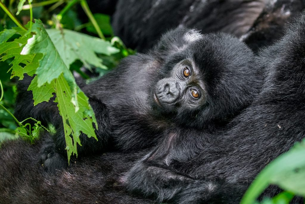 Portrait of the baby mountain gorilla. Uganda. Bwindi Impenetrable Forest National Park