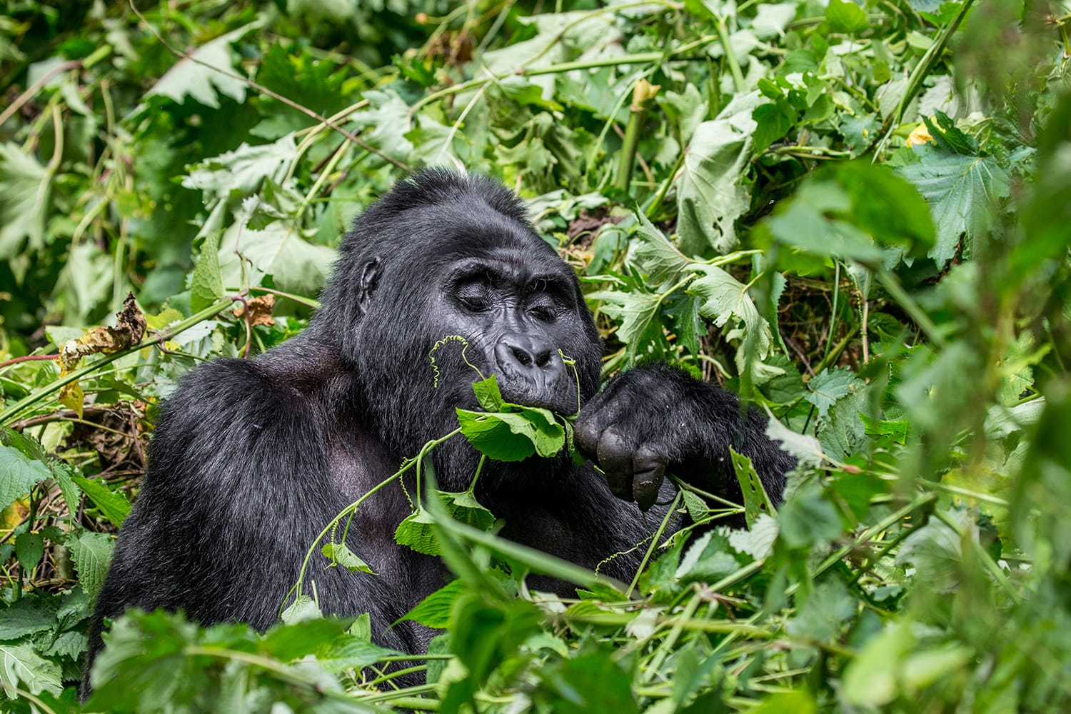 Mountain gorilla eating plants. Uganda. Bwindi Impenetrable Forest National Park