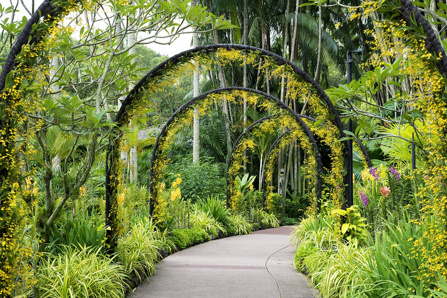Scenic artificial arcs with many yellow orchid flowers in famous Singapore Botanical Garde