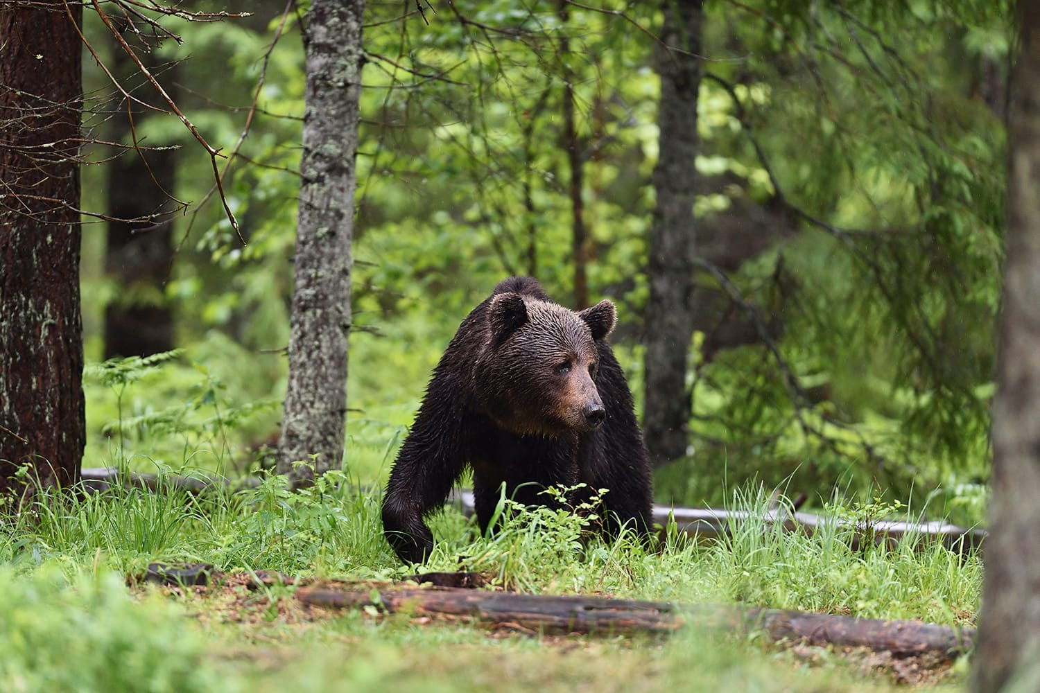 Brown bear walking in forest in Estonia