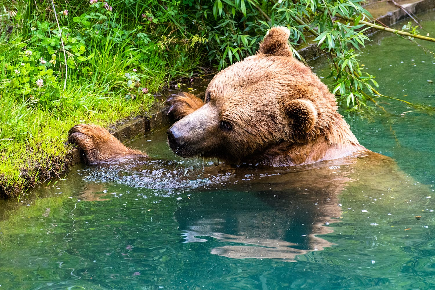 A bear swimming inside Bear Pit in Bern, Switzerland.