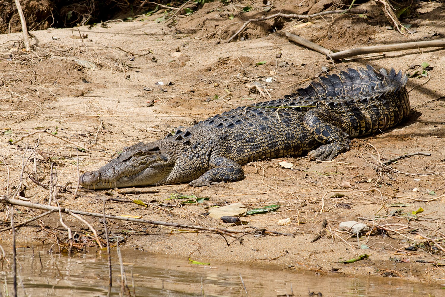 Female saltwater crocodile on muddy riverbank at Daintree National Park, Australia
