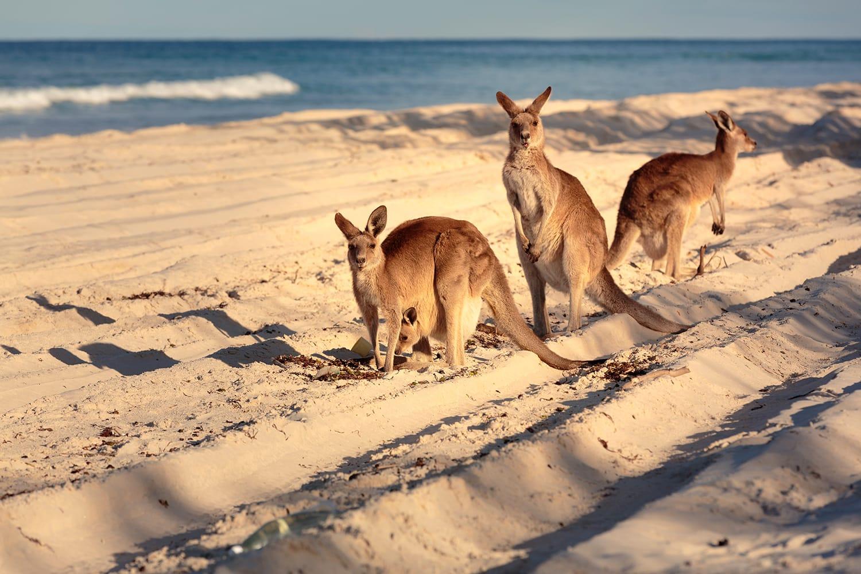 Kangaroos on the beach in Bribie Island, Brisbane, QLD, Australia