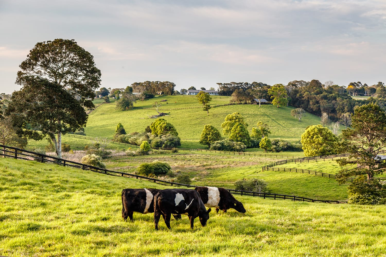 Australian countryside. Friesian cattle in paddock, Sunshine coast, Queensland, Australia