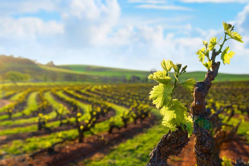 Barossa Valley vineyard, Seppeltsfield South Australia